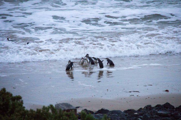Phillip Island Penguin Parade Pictures